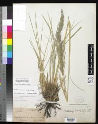 Image of Muhlenbergia gooddingii