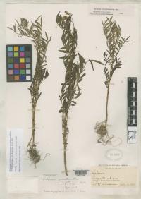 Image of Solanum pinnatisectum