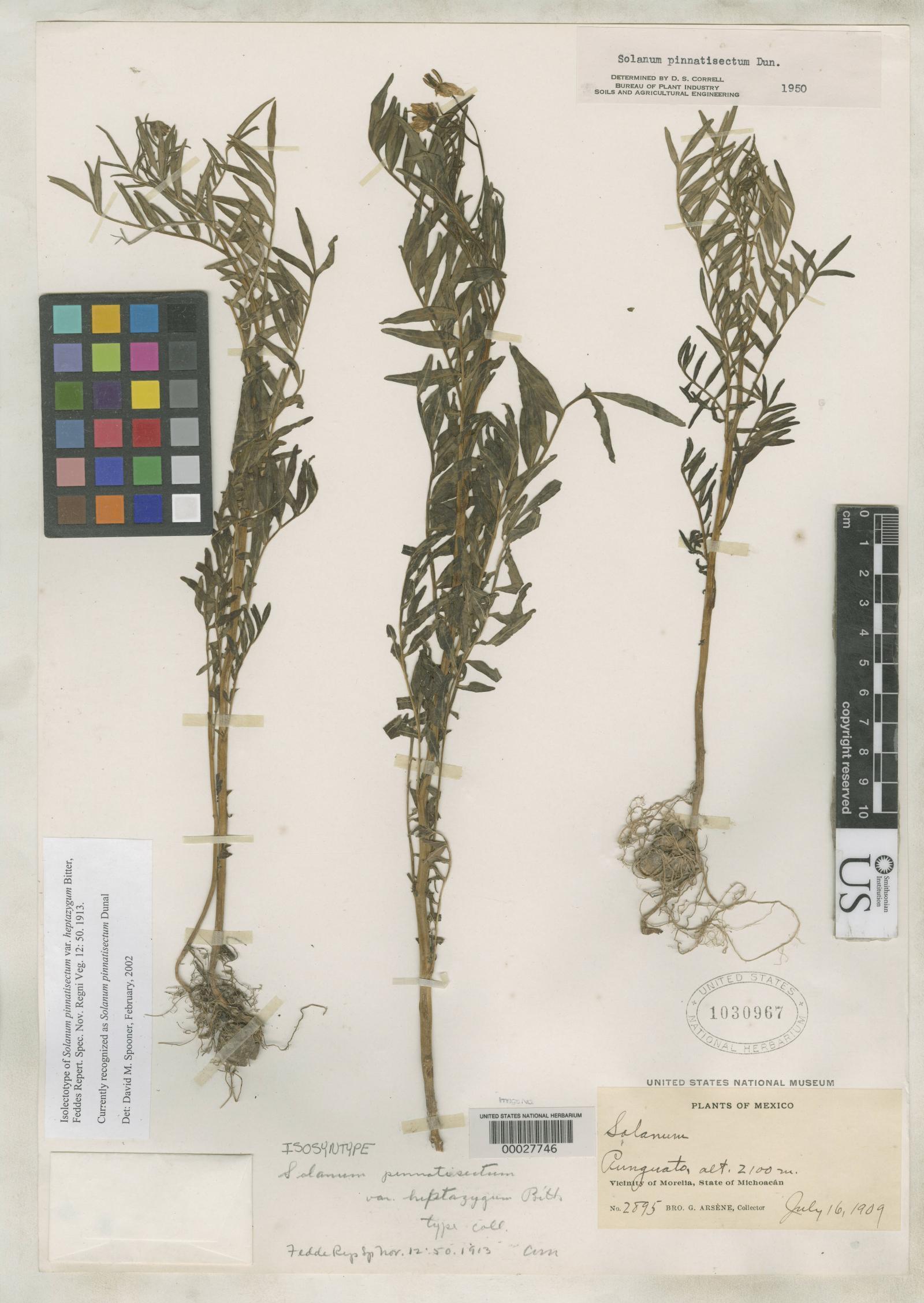 Solanum pinnatisectum image