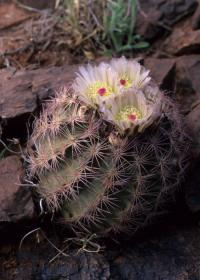 Image of Sclerocactus intertextus