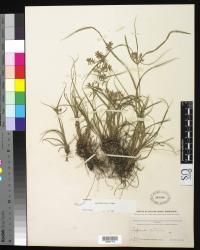 Image of Cyperus spectabilis