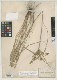 Image of Cyperus tetragonus