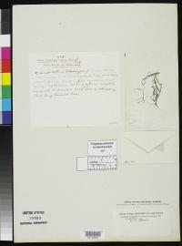 Image of Paspalum virletii