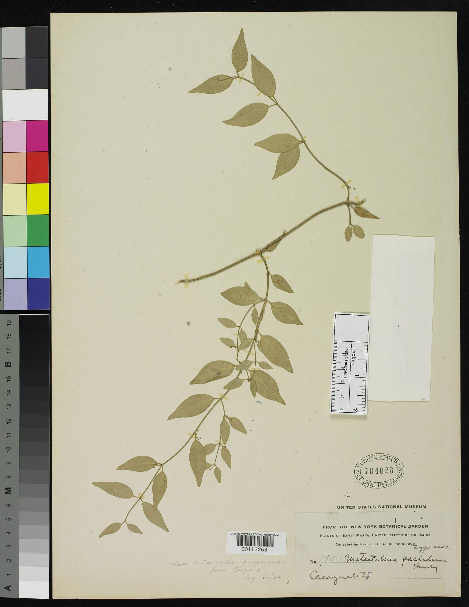 Cynanchum wigginsii image