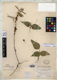 Image of Cuscuta dentatasquamata
