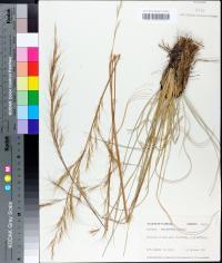 Aristida rhizomophora image