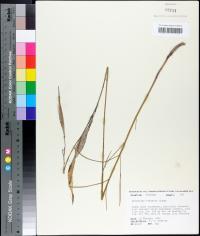 Asclepias viridula image