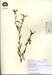 Image of Erigeron strigosus