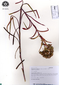 Oligoneuron riddellii image
