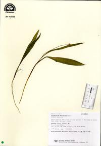 Image of Erythronium mesochoreum