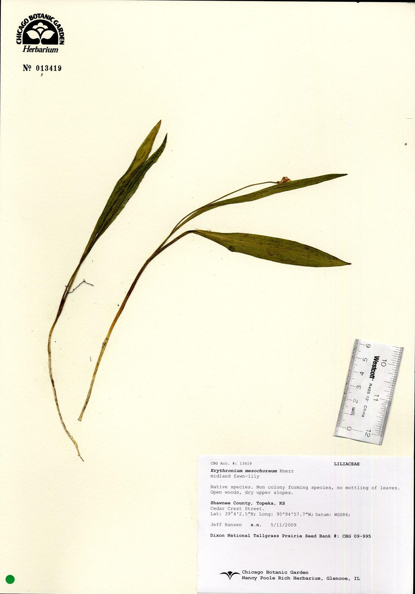 Erythronium mesochoreum image