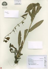 Digitalis grandiflora image