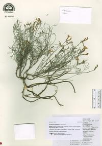 Image of Astragalus subuliformis