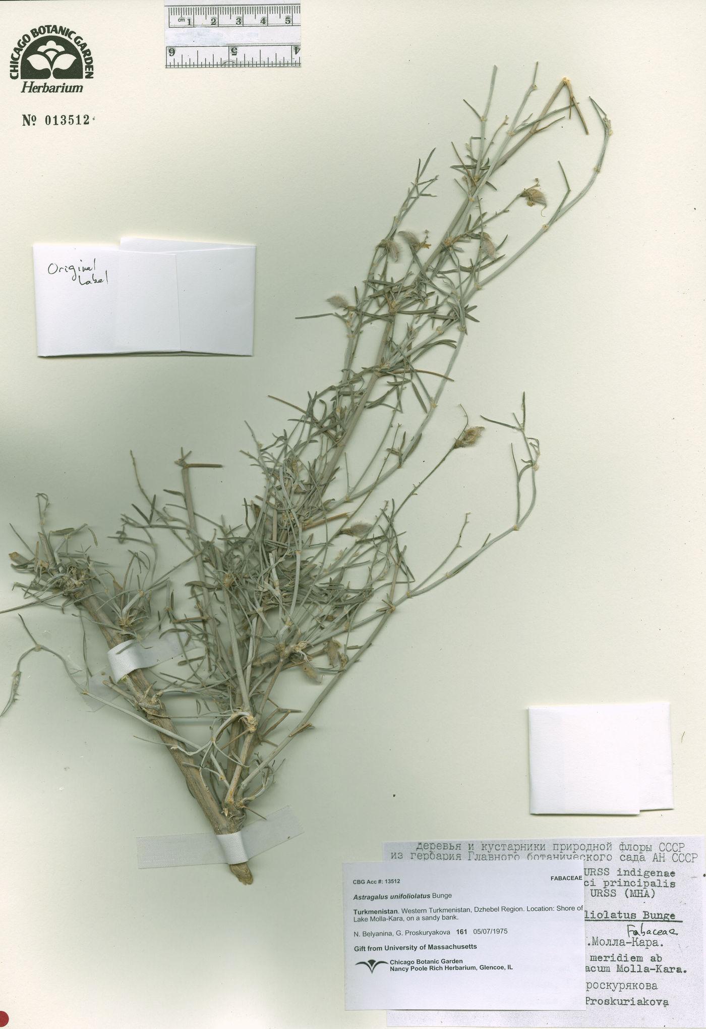 Astragalus unifoliolatus image