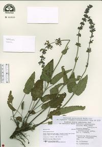 Image of Salvia dumetorum