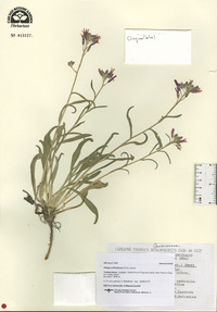 Image of Fibigia suffruticosa