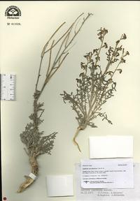 Image of Matthiola odoratissima