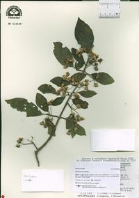 Euonymus europaea image
