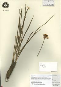 Allium oreoprasum image