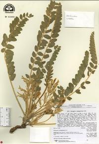 Image of Astragalus schanginianus