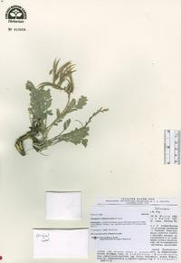 Image of Astragalus ornithorrhynchus