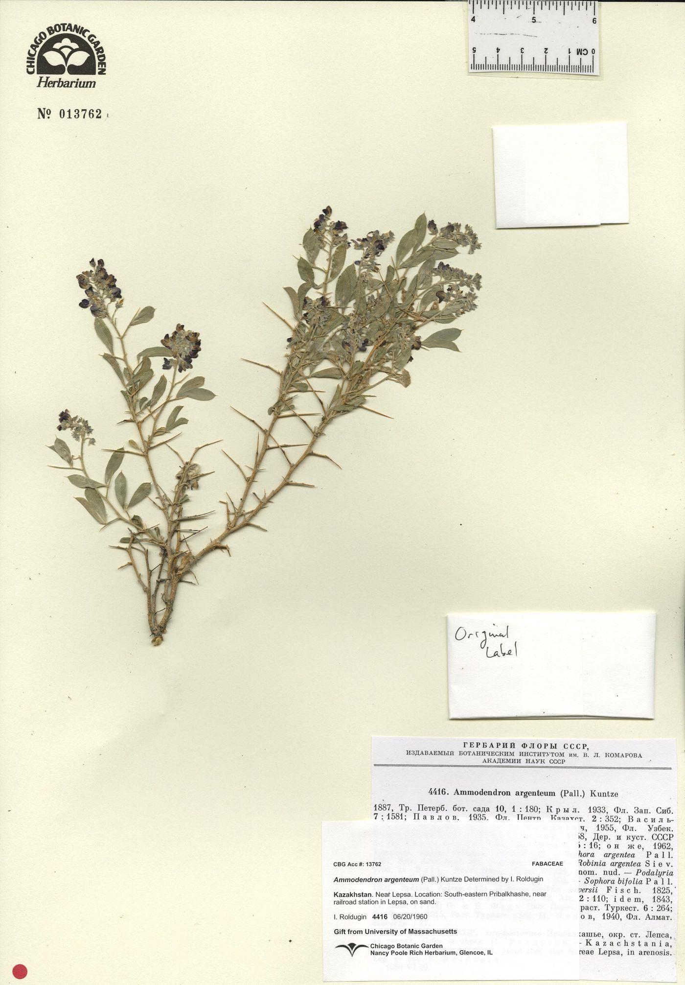 Ammodendron bifolium image