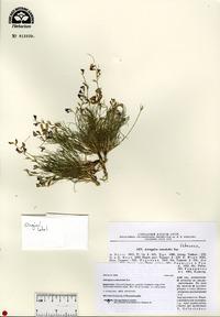 Image of Astragalus nematodes