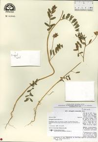 Image of Astragalus sesamoides