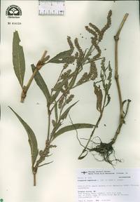 Persicaria amphibia image