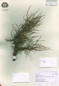 Image of Astragalus sommieri