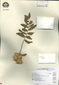Image of Astragalus sieversianus