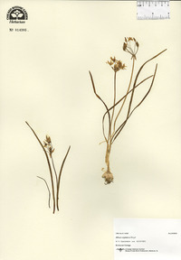 Image of Allium stipitatum