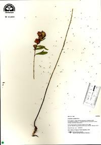 Lespedeza capitata image