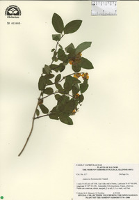 Lonicera × xylosteoides image