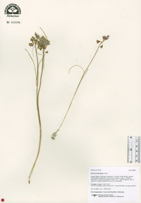 Image of Allium kunthianum