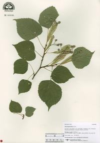 Image of Tilia begoniifolia