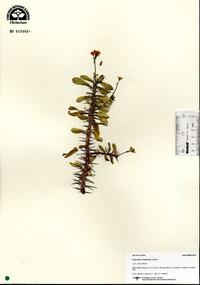 Image of Euphorbia capuronii