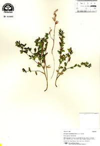 Image of Acmispon humistratus