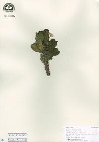Image of Euphorbia milloti