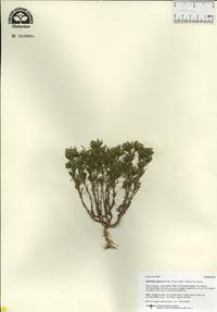 Dyssodia papposa image