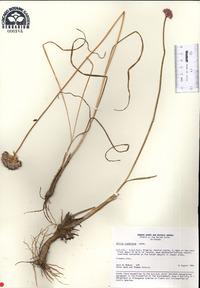 Image of Allium clathratum