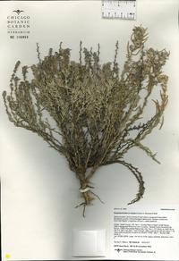 Krascheninnikovia ceratoides image