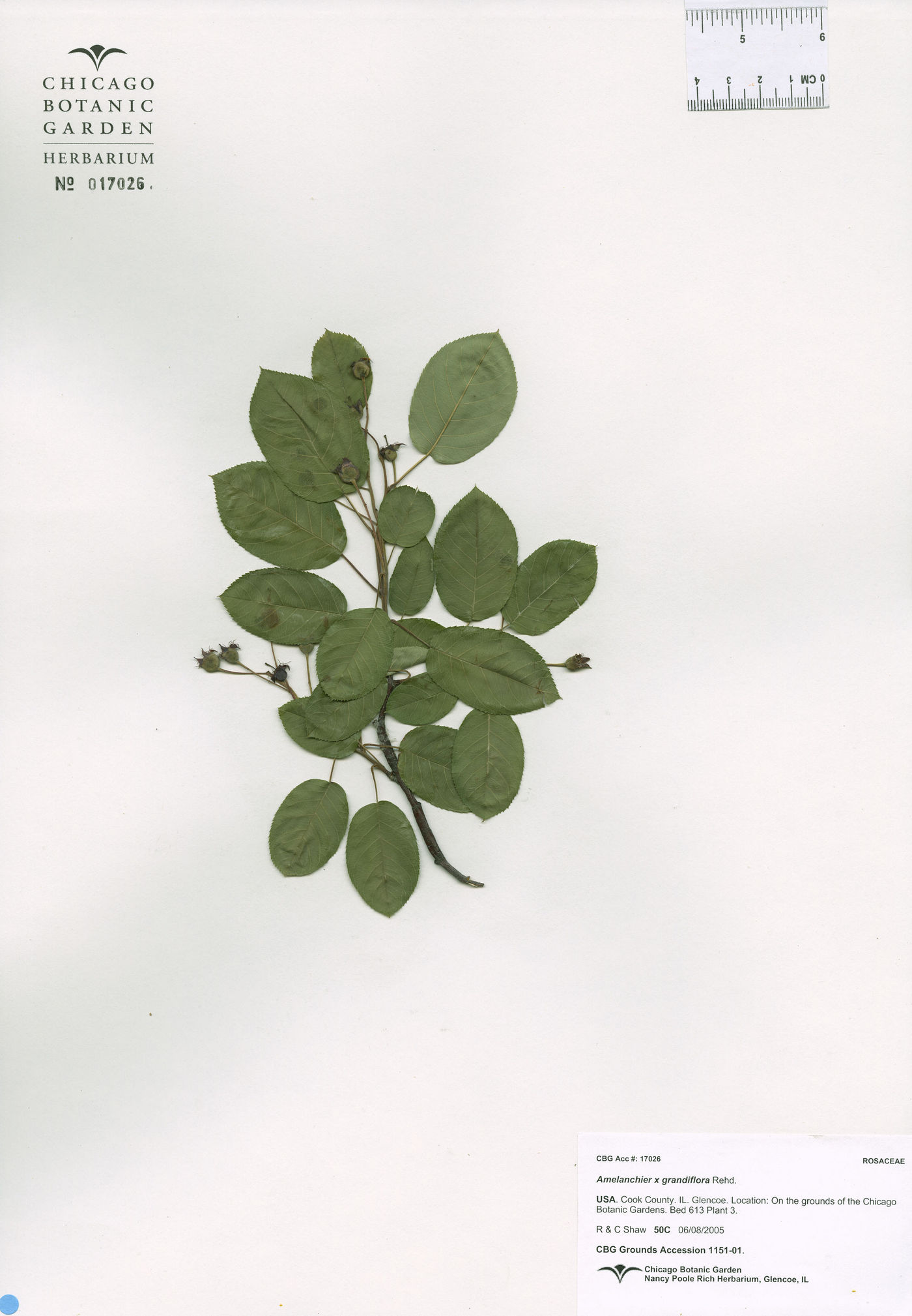 Amelanchier x grandiflora image