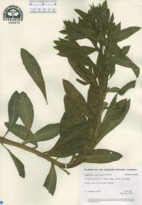 Image of Euphorbia aristata