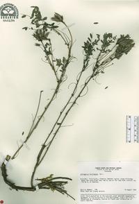 Image of Astragalus fruticosus