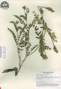 Image of Astragalus inopinatus