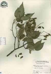 Syringa pekinensis image