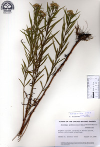 Solidago graminifolia var. media image