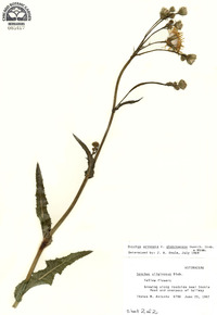 Sonchus arvensis var. glabrescens image