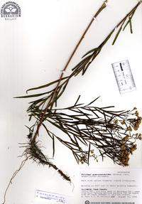 Solidago gymnospermoides image